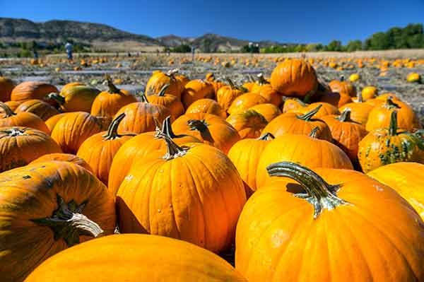 Denver Botanic Gardens - Chatfield Farms Corn Maze and Pumpkin Patch